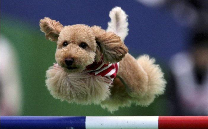 собака спортсменка
