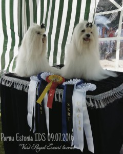 estoniya-malteze-vart-royal-escort-kennel