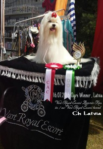 latviya-malteze-vart-royal-escort-kennel